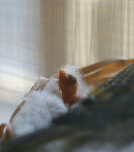 Bébé-canari